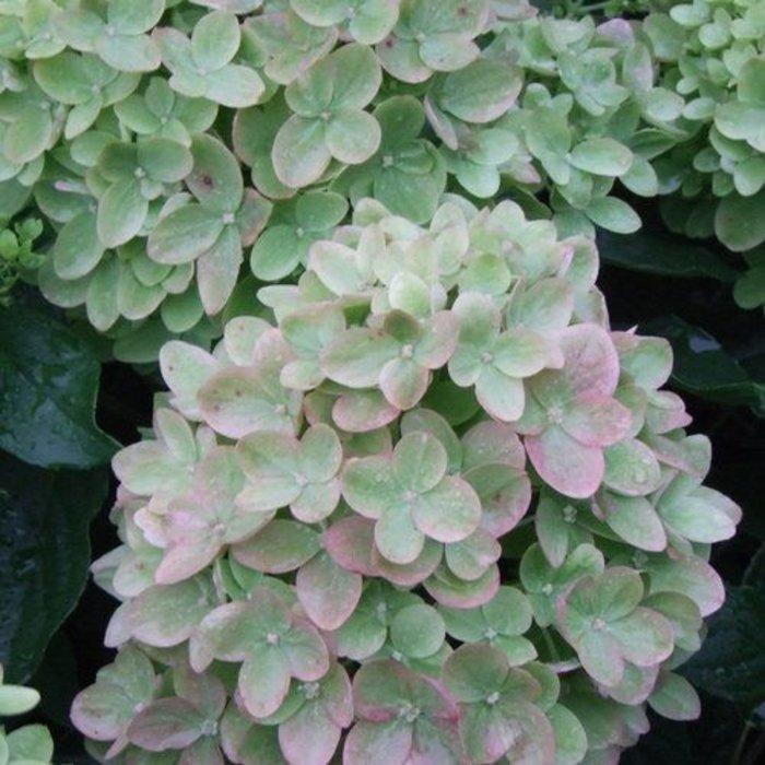 Hydrangea p Little Lime 3