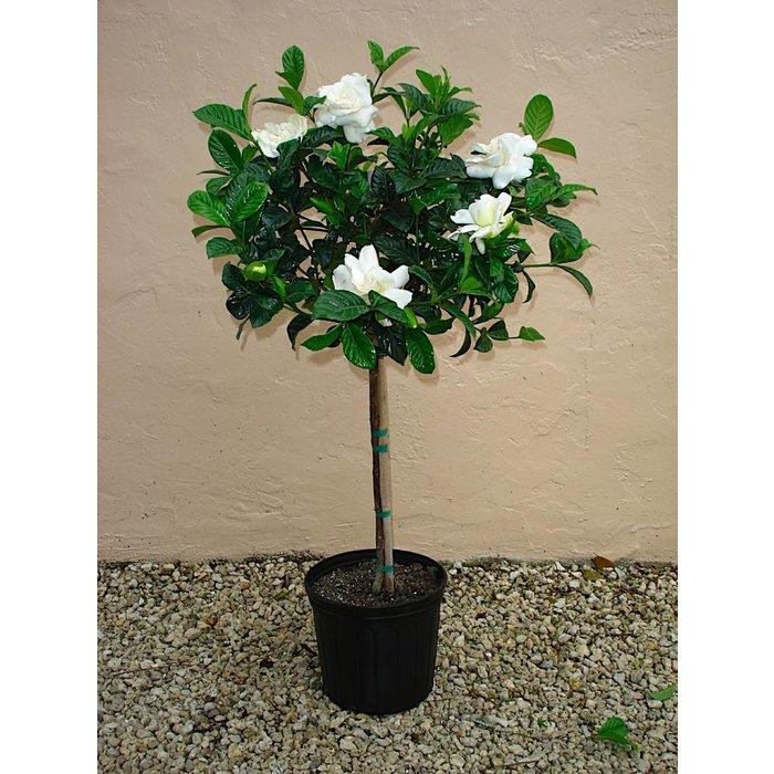 """TF Gardenia Standard 10"""""""