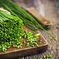 """Chives, Onion 4"""""""