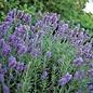 "Lavender Phenomenal 4"""