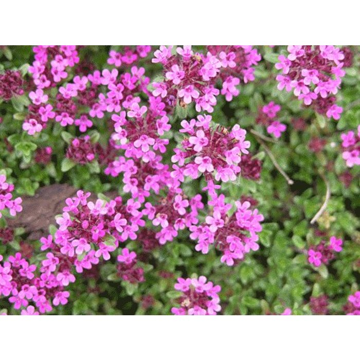 Thyme, Creeping Red 4""