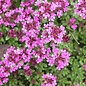 """Thyme, Creeping Red 4"""""""
