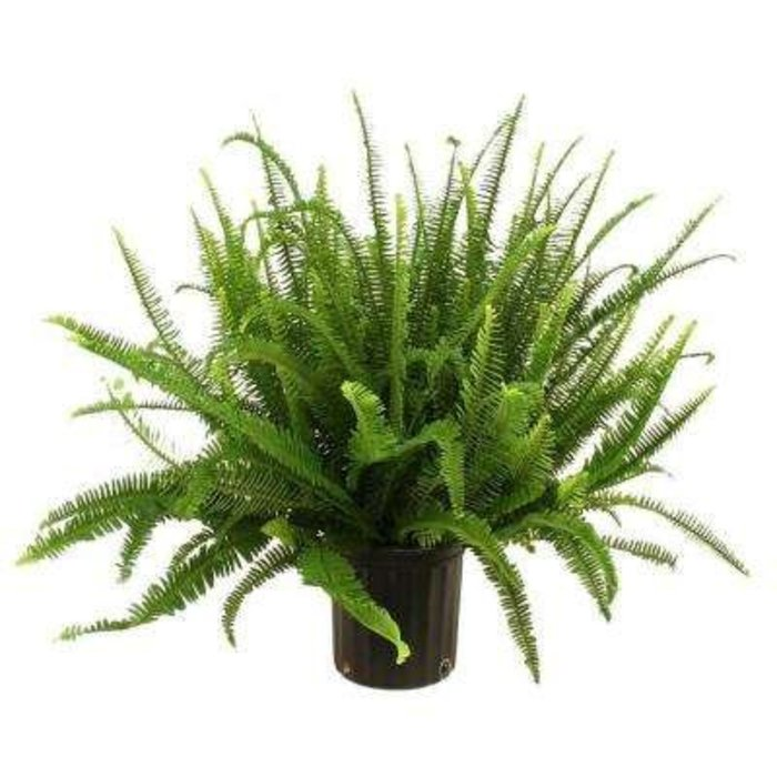 Fern Kimberly Queen 6""