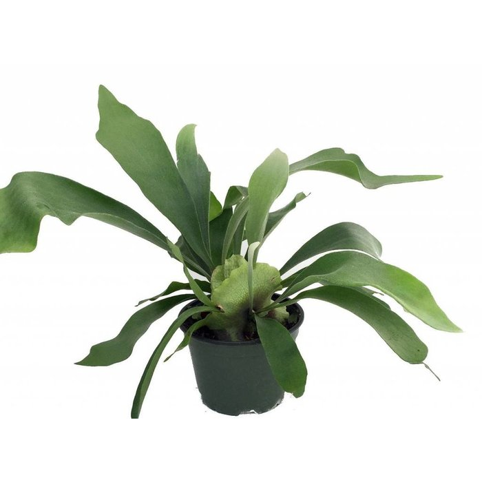 Fern Staghorn 6""
