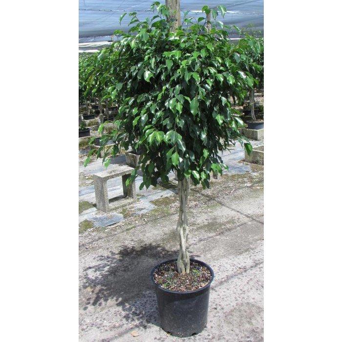 """Ficus Benjamina Standard 14"""""""