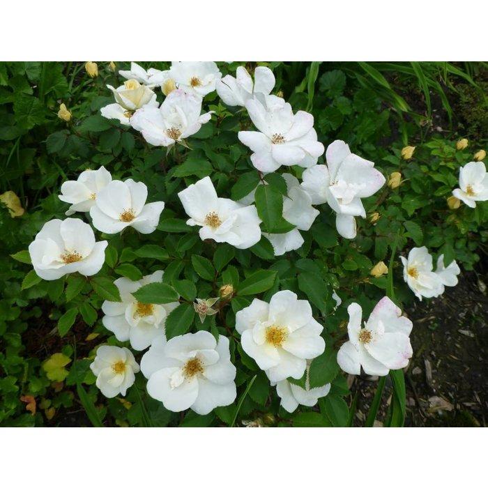 Rose KO White Out 3