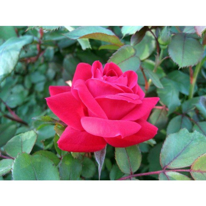 Rose KO Double Pink 3