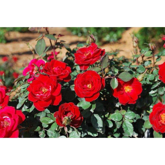Rose Sunrosa Red 2