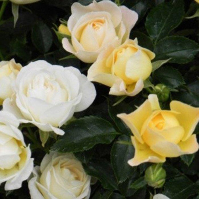 Rose Drift Asst 3