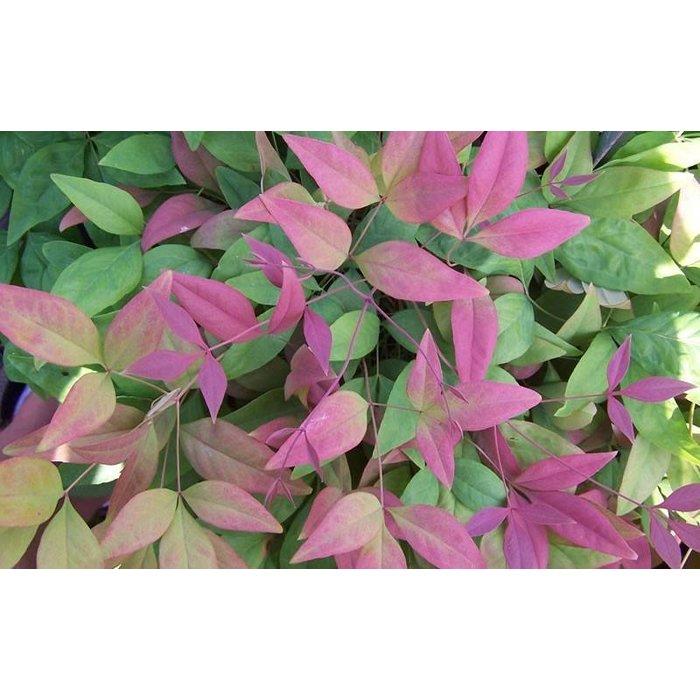 Nandina Blush Pink 3