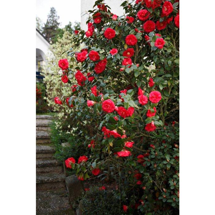 Camellia J 'April Tryst' 3