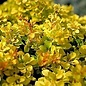 Berberis Golden Nugget 3