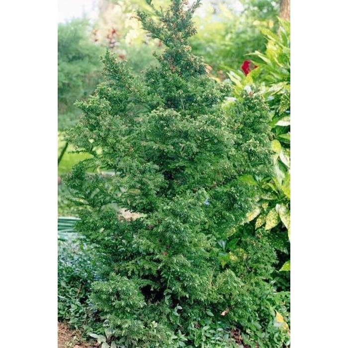 Cryptomeria j Black Dragon 3