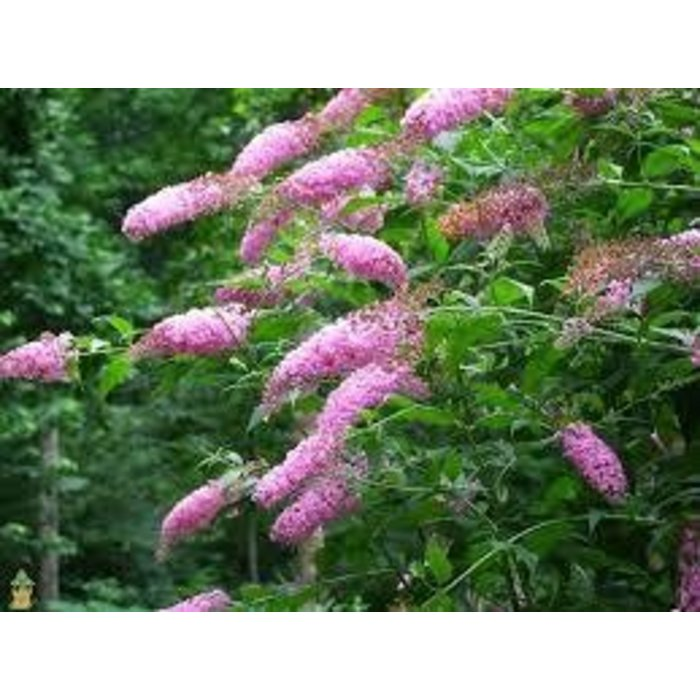 Buddleia Pink Delight 3