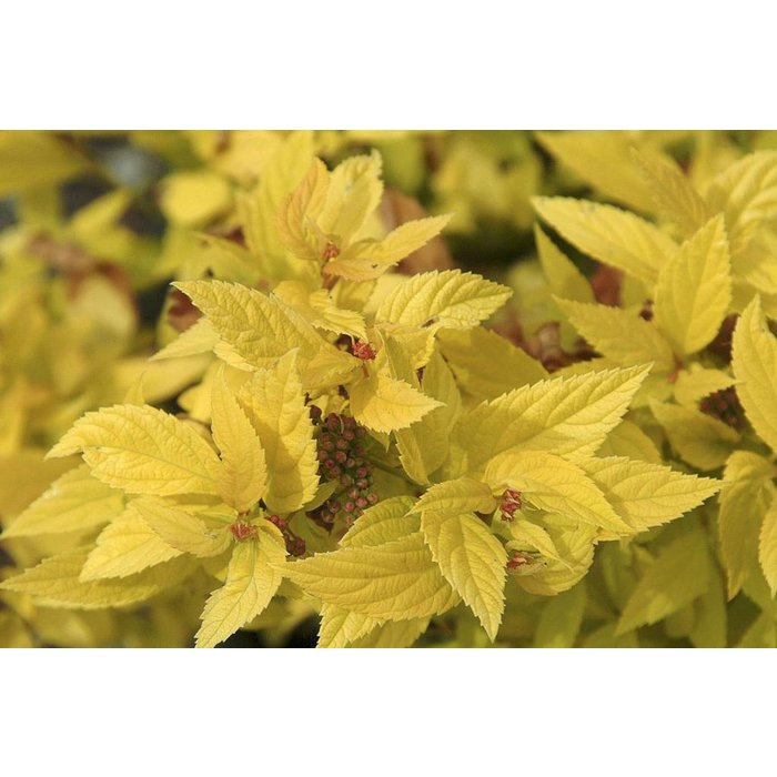 Spiraea Golden Sunrise 2