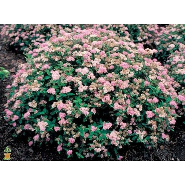 Spiraea Little Princess 3
