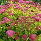 Spiraea Magic Carpet