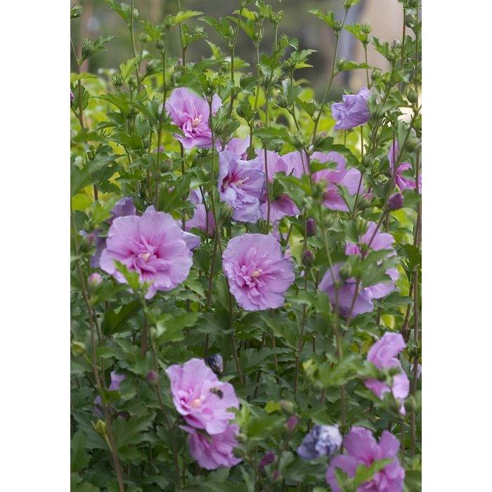 Althea Lavender Chiffon 3