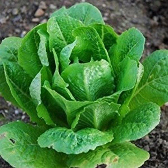 Lettuce Romaine 4 Pk