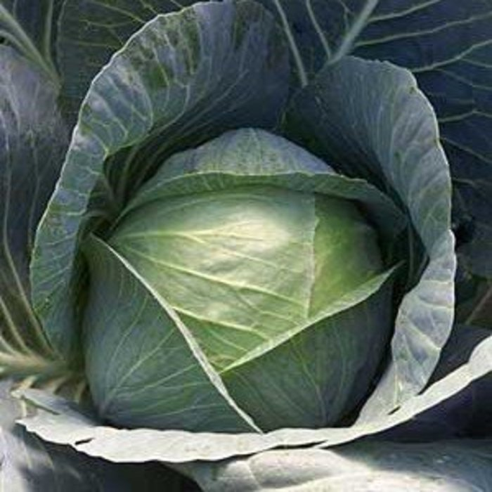 Cabbage Solid Blue 780 4 Pk