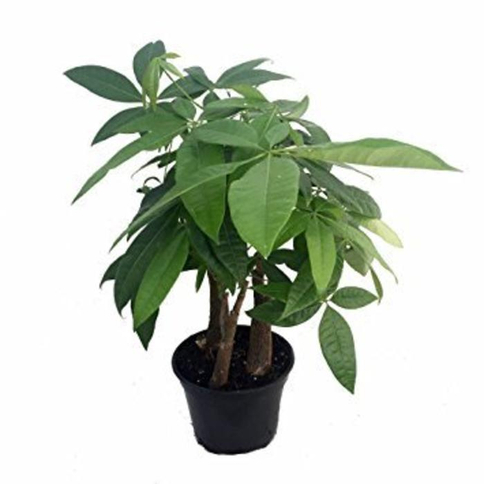 Pachira Money Tree 6""