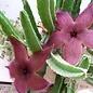 """Stapelia Succulent 6.5"""""""
