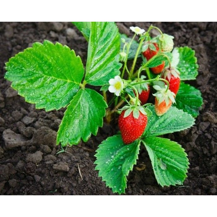 Strawberry 1801