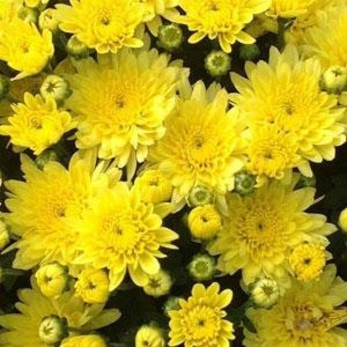 """Mum 8"""" Yellow/ Gold"""