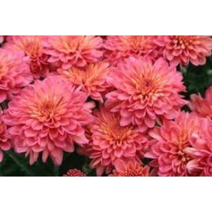 """Mum 8"""" Coral/ Pink"""