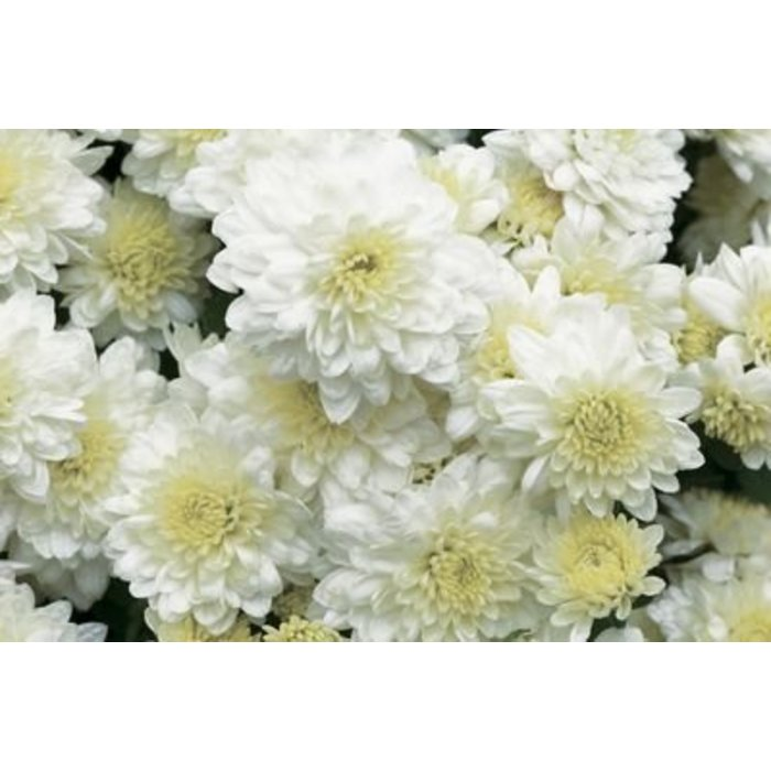Fall mums boulevard flower gardens mum 8 white mightylinksfo