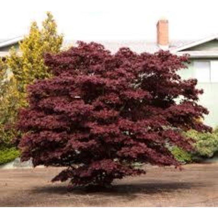 Acer palmatum Bloodgood 1.5