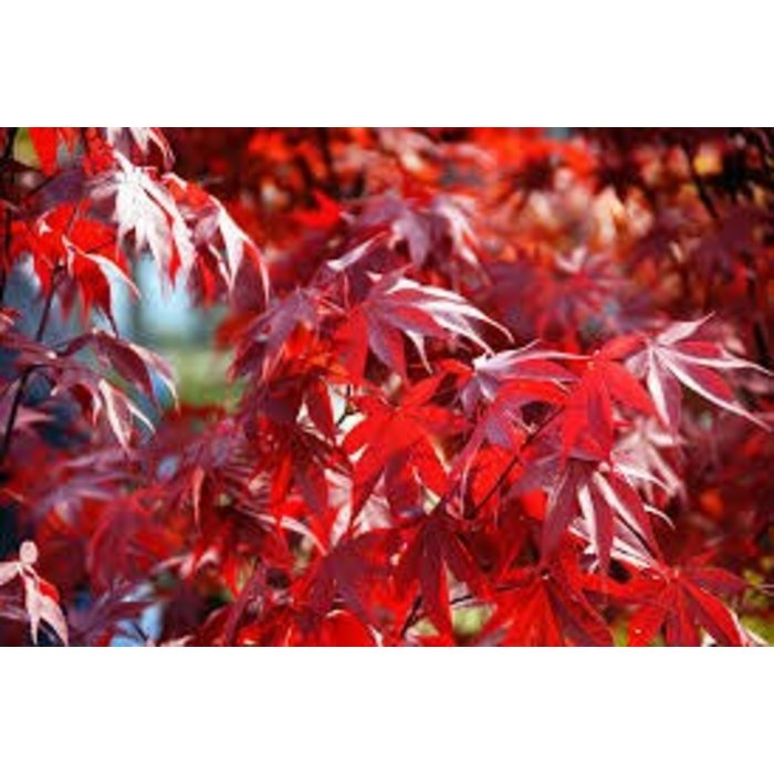 Acer palmatum Fireglow 1.5