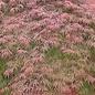 Acer palmatum Orangeola std 5