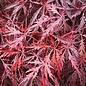 Acer palmatum Tamukeyama 1.5