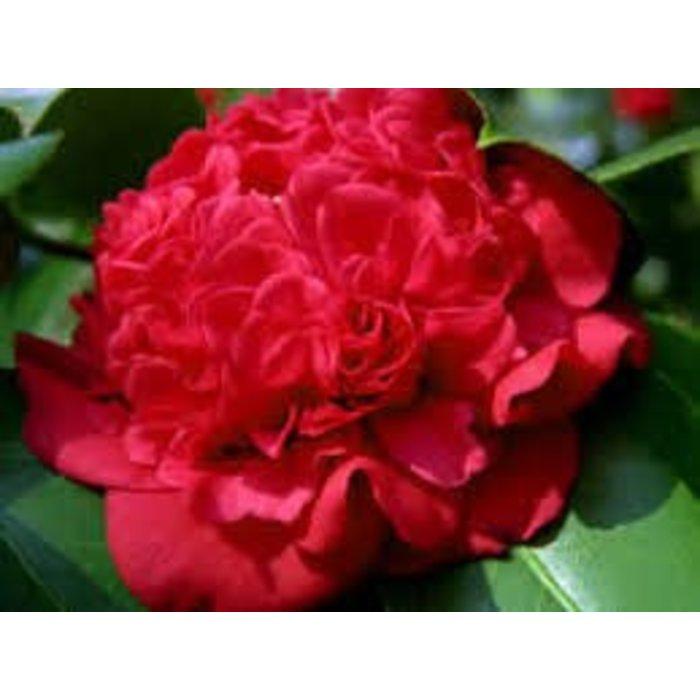 Camellia j Professor Charles Sargent Red 3