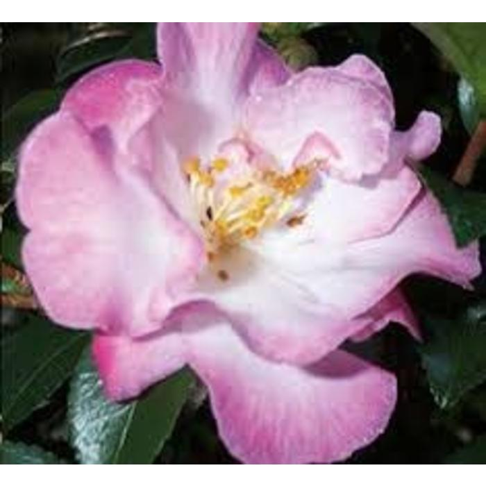 Camellia s October Magic Orchid 3