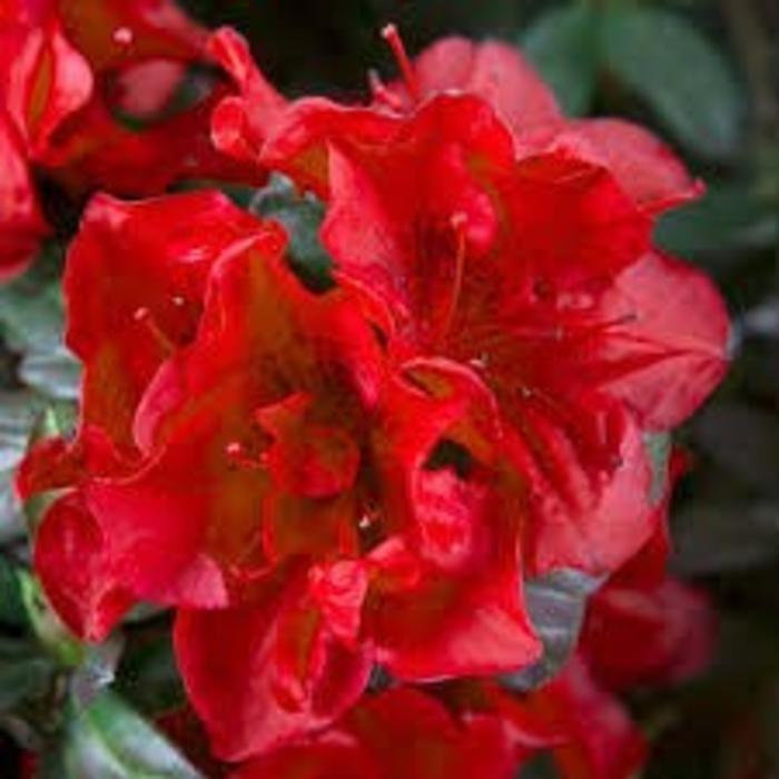 Rhododendron 'Autumn Fire' 3