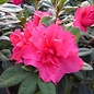 Rhododendron 'Autumn Rouge' 3