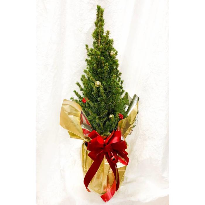 Festive Alberta Spruce