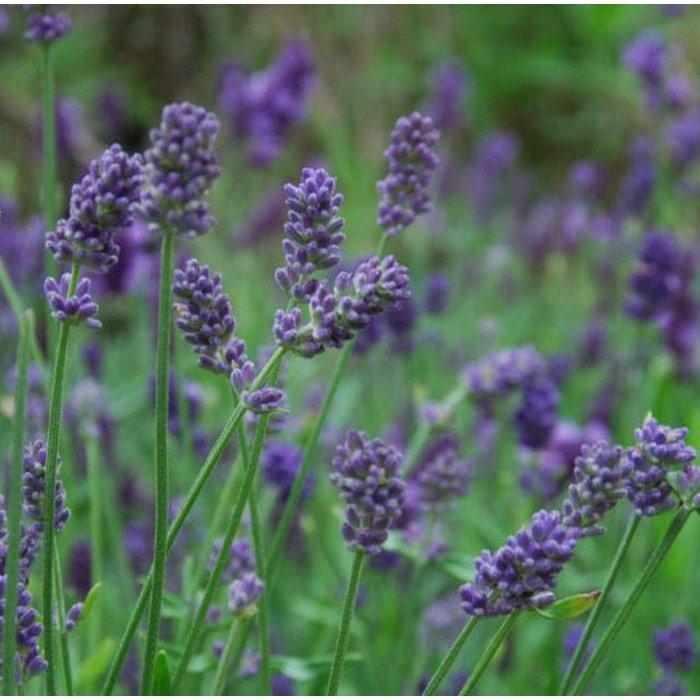 Lavender Provence qt