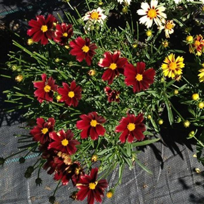 Coreopsis Red Elf 1