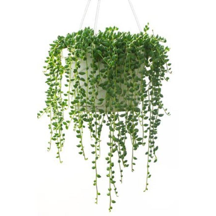 "String of Pearls 8"" HB"