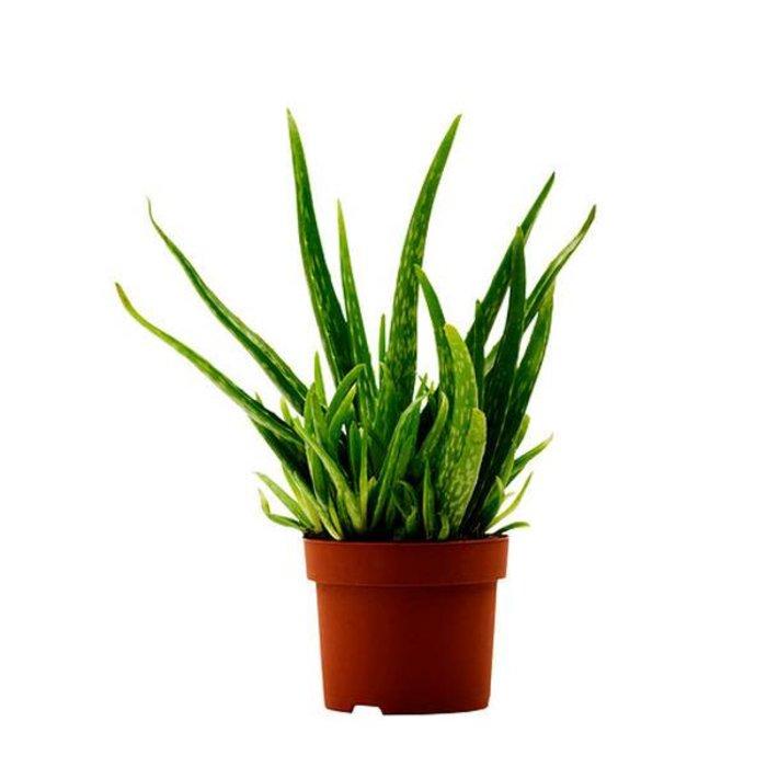 "Aloe Vera 6"""
