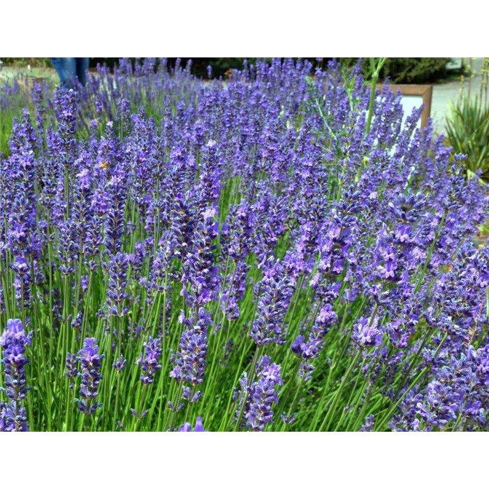 Lavender Phenomenal 1