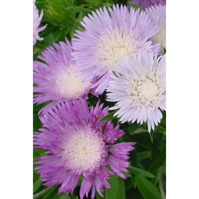 Stokesia Color Wheel 1