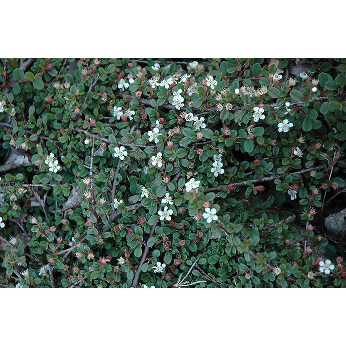 Cotoneaster Streibs Findling 1