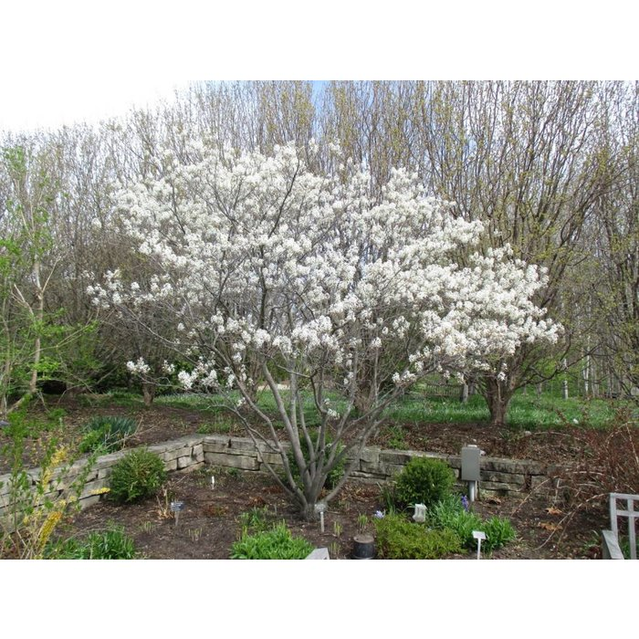 Amelanchier can 'Serviceberry' 3