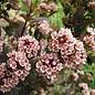 Physocarpus 'Little Devil' Ninebark 3