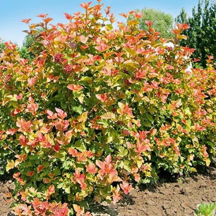 Physocarpus 'Amber Jubilee' Ninebark 3
