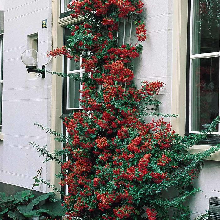 Pyracantha Victory 3